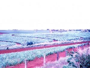 Childers Sugar cane field