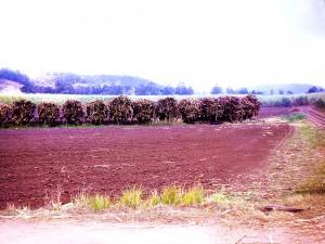 Bunderim Sugar Cane