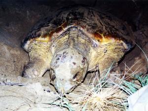 Australia - Turtles