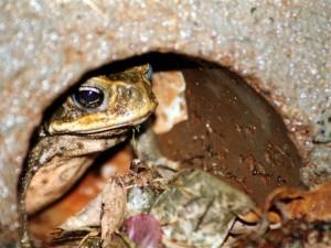 Australia frog